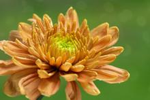 Orange Chrysanthemum Flower On...
