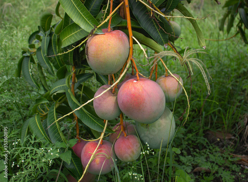 Mango crop, variety Tommy Atkins near Tulua Valle del Cauca Colombia Canvas Print