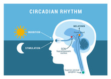 The Circadian Rhythm And Sleep...