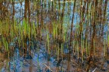 Close-up Swamp Grass (marsh Horsetail)