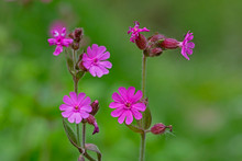Silene Dioica (syn. Melandrium Rubrum), Known As Red Campion And Red Catchfly, Is A Herbaceous Flowering Plant In The Family Caryophyllaceae. Red Campion (Silene Dioica).