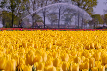 Selective Focus Of Yellow And Red Tulips Blooming On Field During Spring Season, Blurred Watering Irrigation In Warm Sunny Day, Dutch Countryside.