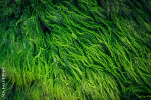 Green algae covered granite boulder in a riverbed Canvas Print
