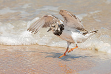 Ruddy Turnstone Dodging A Wave...