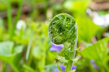 Coiled Fern In Spring