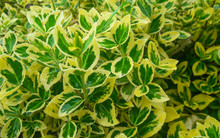 Branches With Leaves Of Euonymus Fortunei Emerald Gold