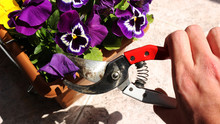 A Hand Deadheading (cutting) Old Blooms Pansies In A Pot With Pruning Scissors Against Background Gardenig Care