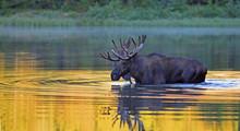 Elk With Big Horns In The Water