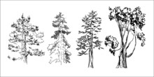 Sketch Of Trees. Simple Black Drawing Of Trees. Isolated Vector Spruce, Pine, Larch. Set Of Vector Clipart Trees