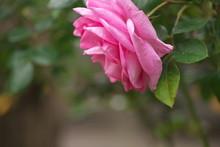 Rose Strauchrose Bauernrose Farbe Hintergrung Blühte Flora Stockrose Dornen Kletterrose