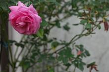 Rose Strauchrose Bauernrose Fa...
