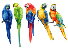 Set Of  Tropical Birds, Multi-colored Bright Parrots On An Isolated Transparent Background, Watercolor Illustration