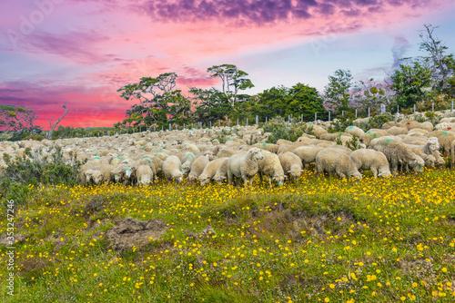 Suinset over herd of sheep  in Tierra del Fuego Fototapeta