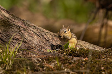 The Eastern Chipmunk Is Rodent...
