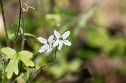 Woodland star (Lithophragma affine) blooming in the forests of Santa Cruz Mounta Canvas Print