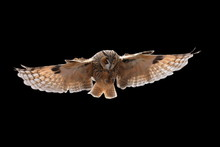 Bird In Flight. Long-eared Owl...