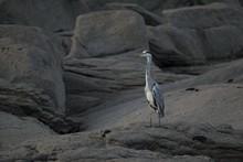 Closeup Shot Of Grey Heron On ...