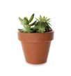 Beautiful potted echeveria isolated on white. Succulent plant