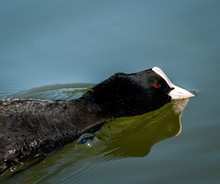 Closeup Shot Of An American Coot Swimming On A Lake At Daytime