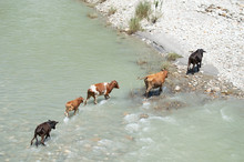 Five Cows Crossing Turquoise River In Bhutan
