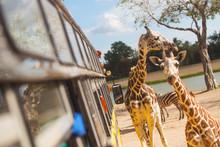 Giraffe Looking For Food From A Bus Window In Safari Open Zoo