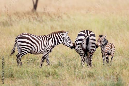 Baby zebra on the Serengeti in Africa