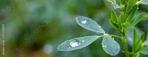 Photo Dew drops on alfalfa leaves, green background of nature and growing grass in the garden
