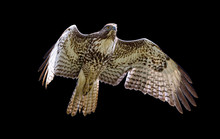 Red-tailed Hawk In Flight, Black Background
