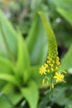 Bulbinella Flower