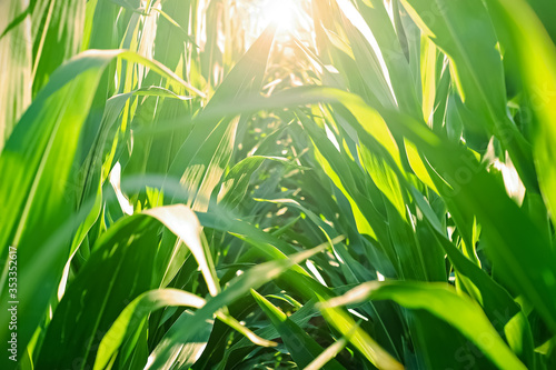 Morning light through a field of green corn plants