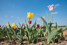 Agricultural Landscape, Tulips...