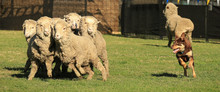 Red And Tan Kelpie (Australian Breed Of Sheep Dog) Herding A Group Of Sheep.