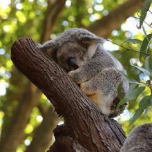 Close Up Of Sleeping Koala, Re...
