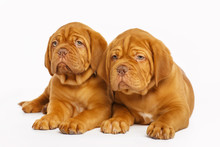 Two Puppies, Isolated On White. Dogue De Bordeaux