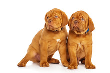 Two Puppies, Isolated On White...