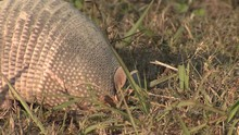 Nine-banded Armadillo Foraging...