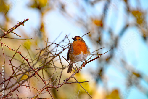 Fotografie, Obraz A robin with a fly in it's beak perches on a twig