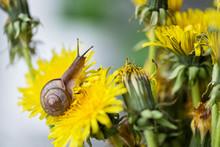 Little Snail Crawls On Yellow ...