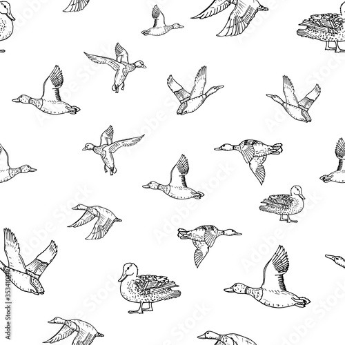 Photo Mallard duck vector sketch