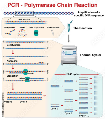 Cuadros en Lienzo The different stages and cycles of DNA molecule amplification by Polymerase Chai