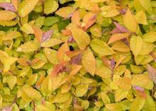 "Spirea (Spiraea Japonica ""Golden Princess"").  New Leaves With Rain Drops In Spring Garden."