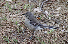 Closeup Of A Northern Mockingbird Perching On Some Dry Grass