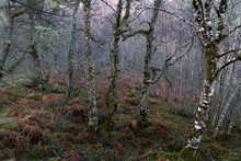 Close-up View Of Dense Silver Birch Forest With Thick Green And Orange Moss And Fern Floor
