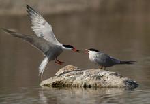 White-cheeked Tern Landing To ...