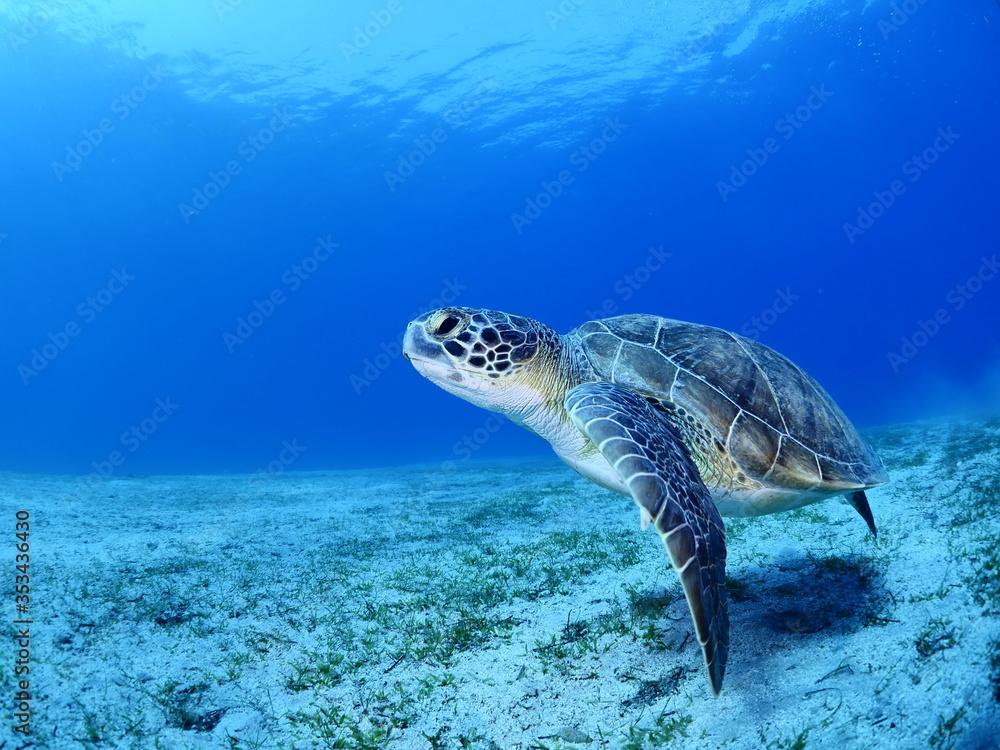 Fototapeta sea turtle underwater swim blue water under sea ocean scenery