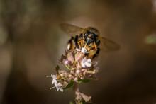 Abeja Libando Nectar De Una Flor De Tomillo