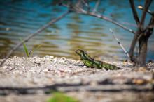 A Young Green American Iguana ...