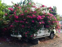 Bougainvillea Growing Out Of A Car Chassis