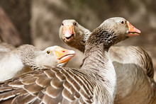 Adult Geese Are Discussing. Co...
