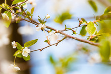 Blooming Spring Tree. Symbol Of The Beginning Of Spring And Warmth. Apple Tree. Cherry Blossoms